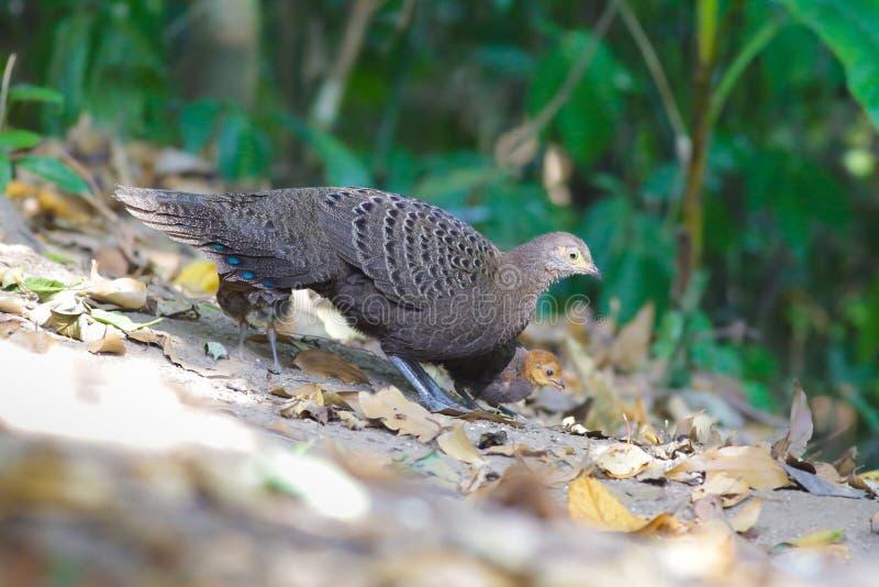 Familia del ` s de Grey Peacock Pheasant imagenes de archivo