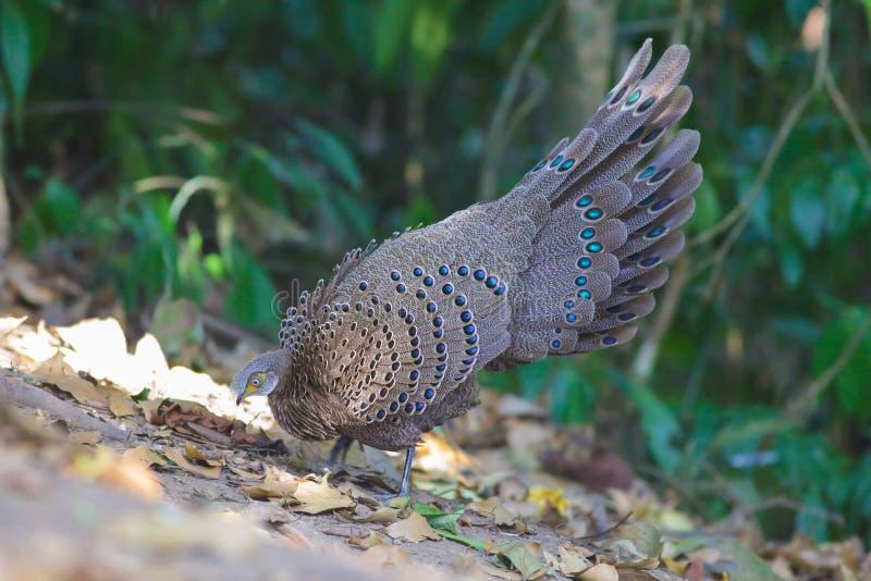 Familia del ` s de Grey Peacock Pheasant imágenes de archivo libres de regalías