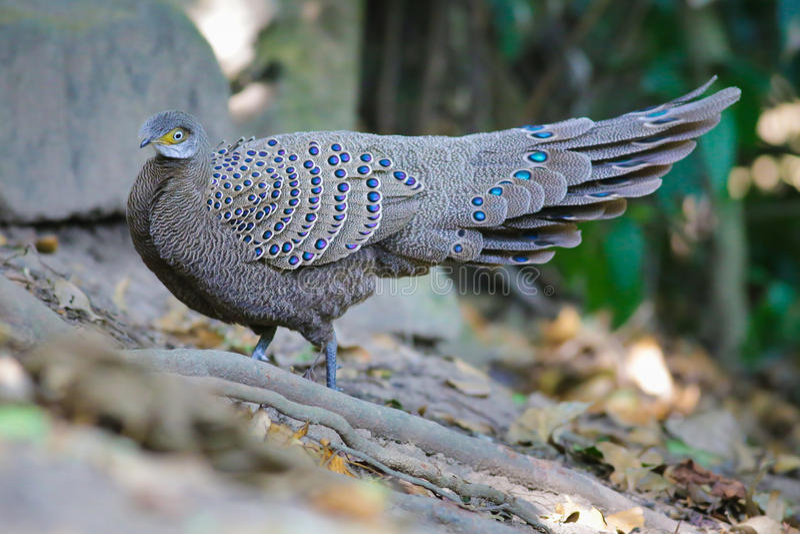 Familia del ` s de Grey Peacock Pheasant imagen de archivo libre de regalías