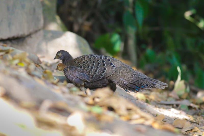 Familia del ` s de Grey Peacock Pheasant foto de archivo
