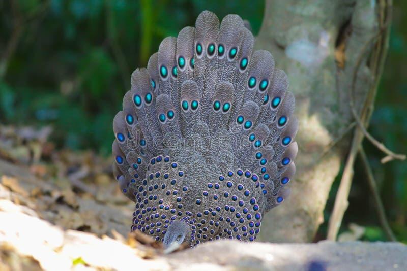 Familia del ` s de Grey Peacock Pheasant foto de archivo libre de regalías
