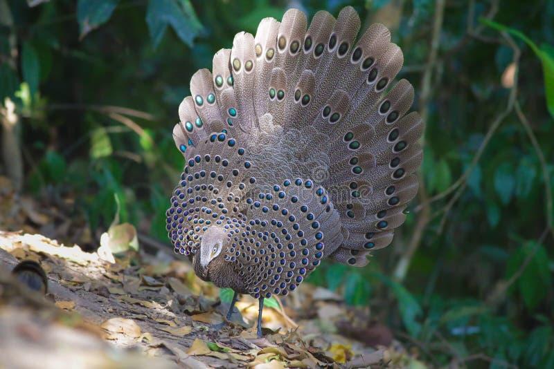 Familia del ` s de Grey Peacock Pheasant fotografía de archivo