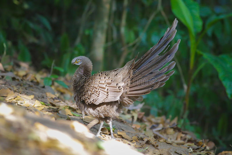 Familia del ` s de Grey Peacock Pheasant fotos de archivo libres de regalías