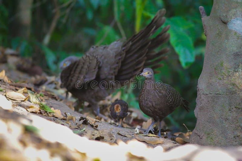 Familia del ` s de Grey Peacock Pheasant imagen de archivo