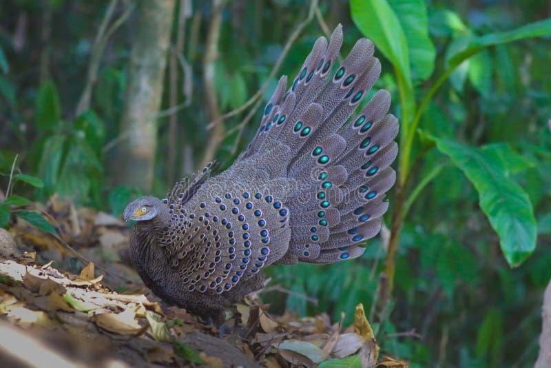 Familia del ` s de Grey Peacock Pheasant fotografía de archivo libre de regalías