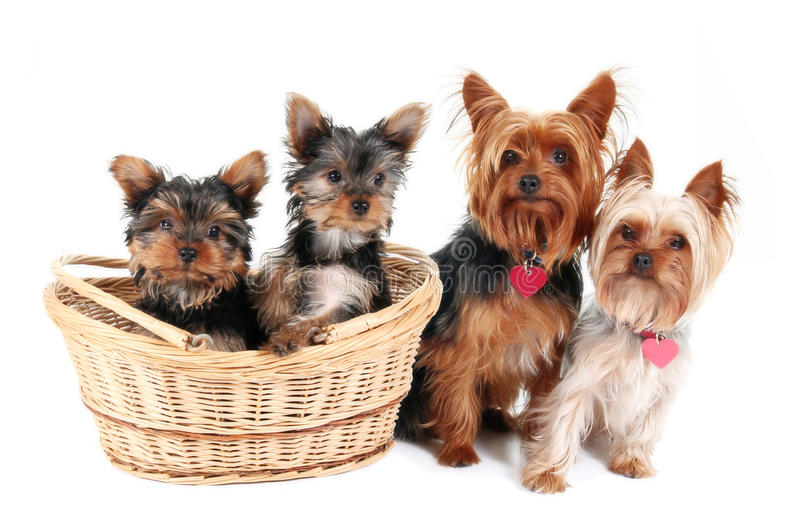 Familia del terrier de Yorkshire imagen de archivo libre de regalías