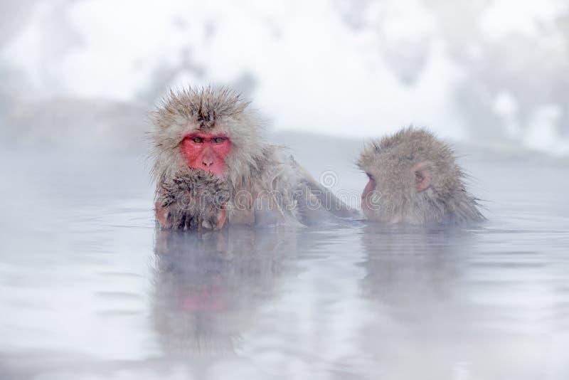 Familia en el macaque japonés del mono del agua de balneario, fuscata del Macaca, retrato de la cara roja en la agua fría con la  imagen de archivo