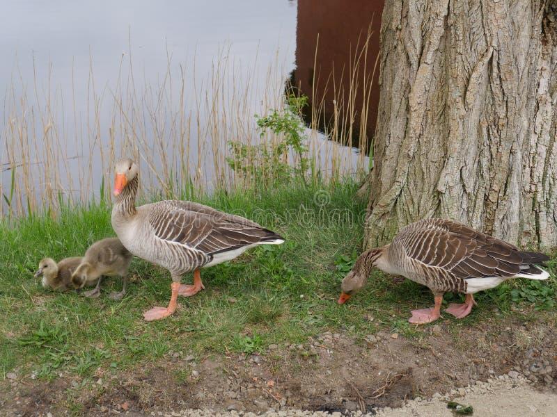 Familia feliz de los gansos cerca de un lago fotos de archivo