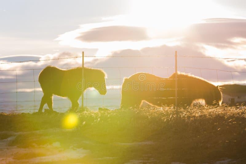 Familia islandesa del caballo con la llamarada de la lente fotografía de archivo libre de regalías