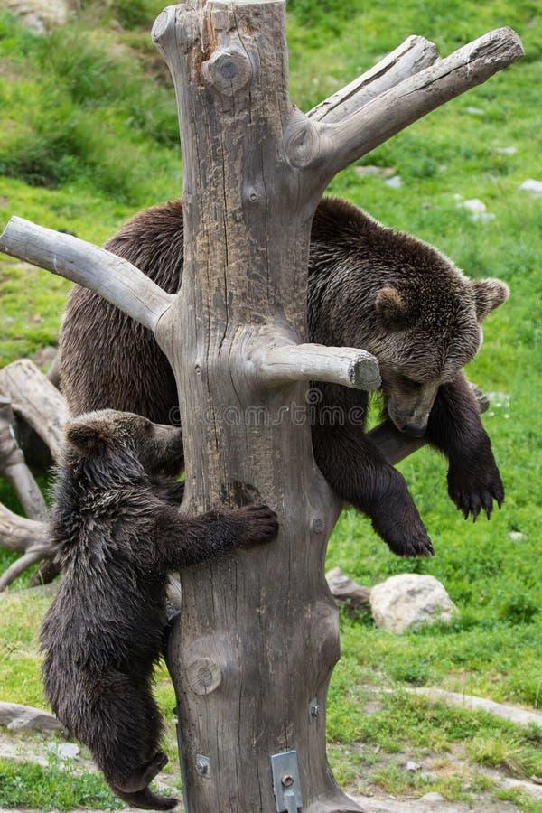 Familia linda de oso de la madre del oso marrón y su cachorro del bebé que juega en un tronco de árbol que sube y que muerde Arct foto de archivo libre de regalías