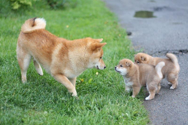 Familia linda del inu del shiba con los perritos adorables foto de archivo