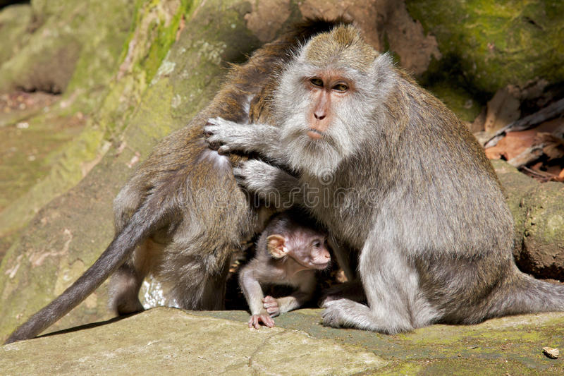 Familia Long-tailed del Macaque fotografía de archivo libre de regalías