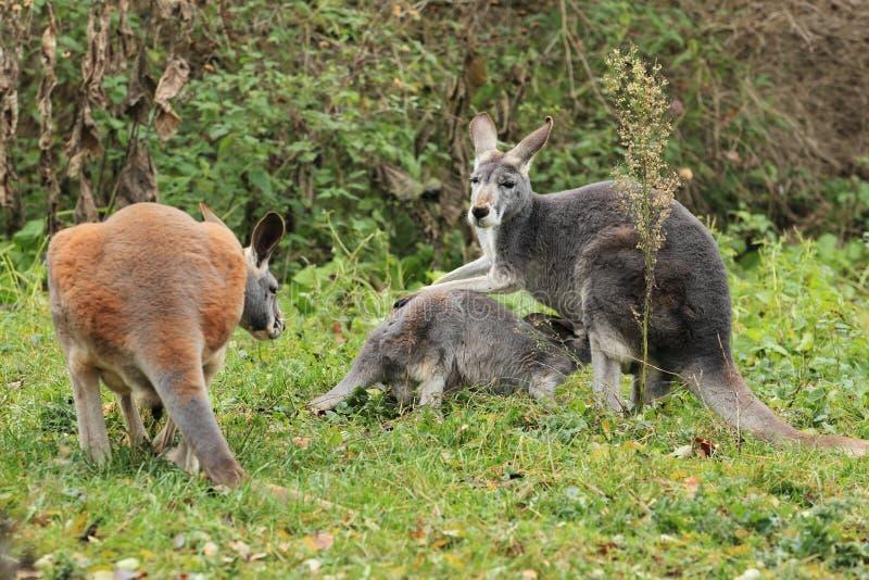 Familia roja del canguro