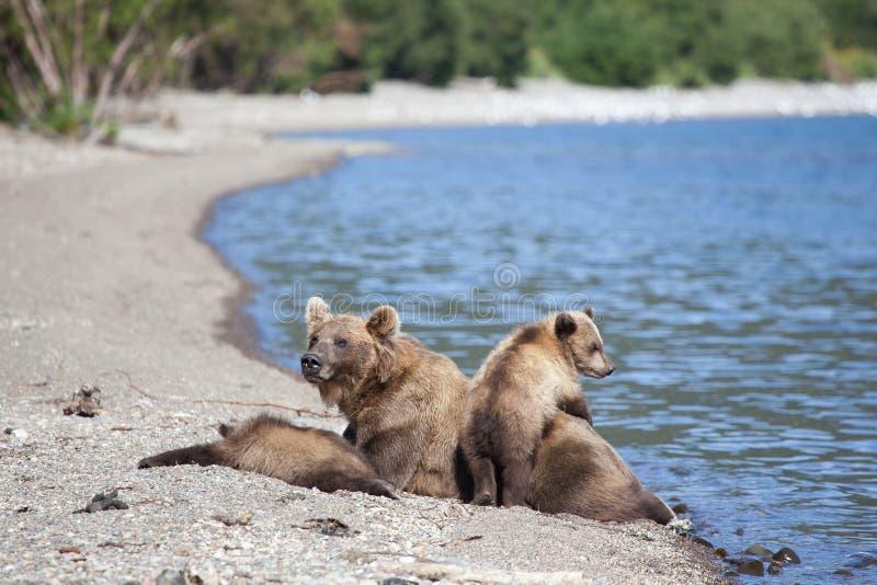 Familia salvaje del grisáceo del oso marrón con pequeños cachorros de osos lindos en el lago Kuril imagenes de archivo