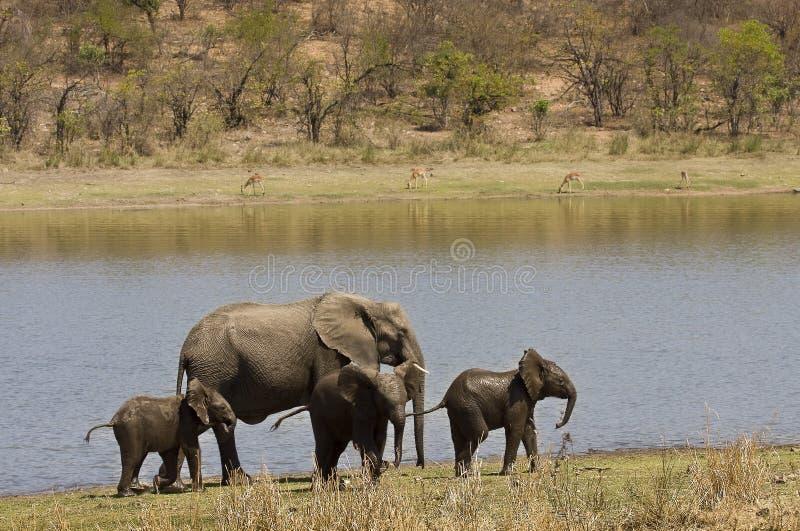 Familia salvaje en la orilla del río, parque nacional de Kruger, SURÁFRICA de los elefantes foto de archivo libre de regalías