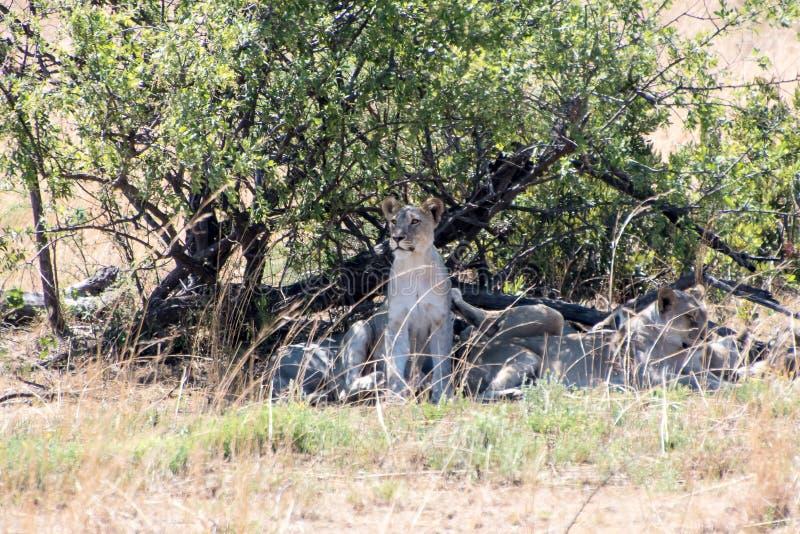 Familia Suráfrica del león con mucho más palabras foto de archivo libre de regalías