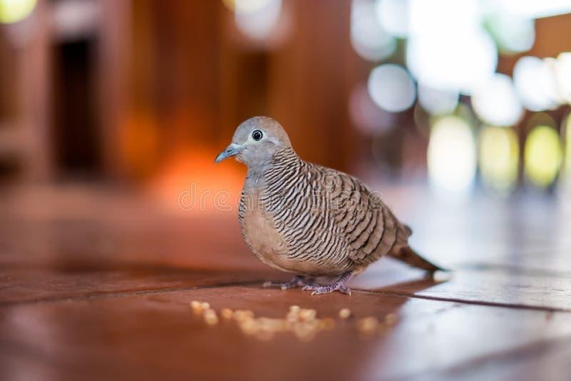 Familiare del piccione del primo piano con il grano di alimentazione della gente sul pavimento fotografie stock