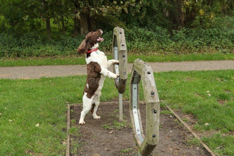 Familiaris милые волчанки волка собаки Spaniel английского Спрингера пытая подвижность стоковая фотография