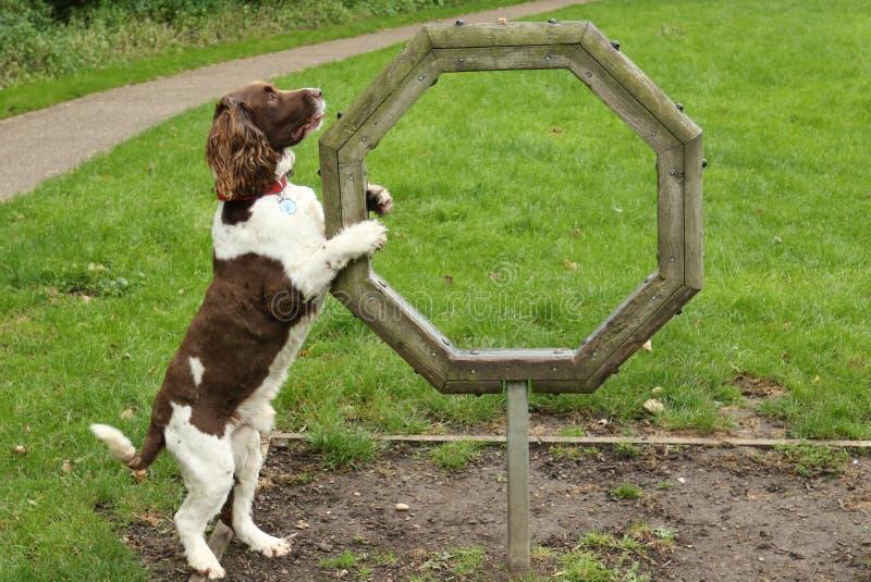 Familiaris милые волчанки волка собаки Spaniel английского Спрингера пытая подвижность Он ` t hasn действительно приходит к сжати стоковое фото