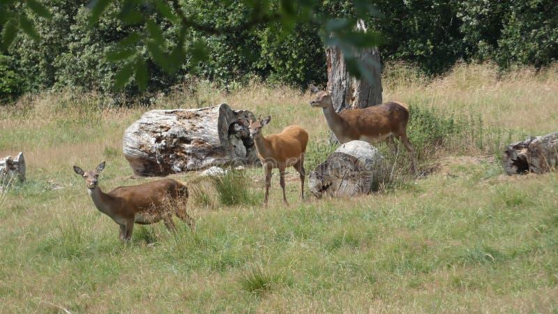 Familias de los ciervos comunes cerca de árboles antiguos que disfrutan de un día de verano hermoso en Inglaterra imagenes de archivo
