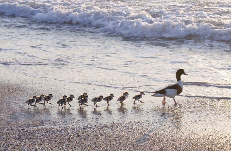Familie der Ente lizenzfreie stockfotos