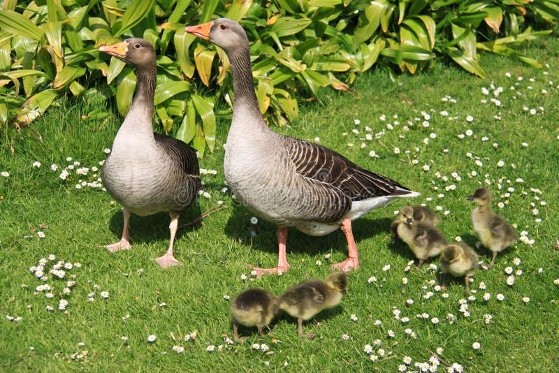 Familie der Enten und der Entlein stockfoto