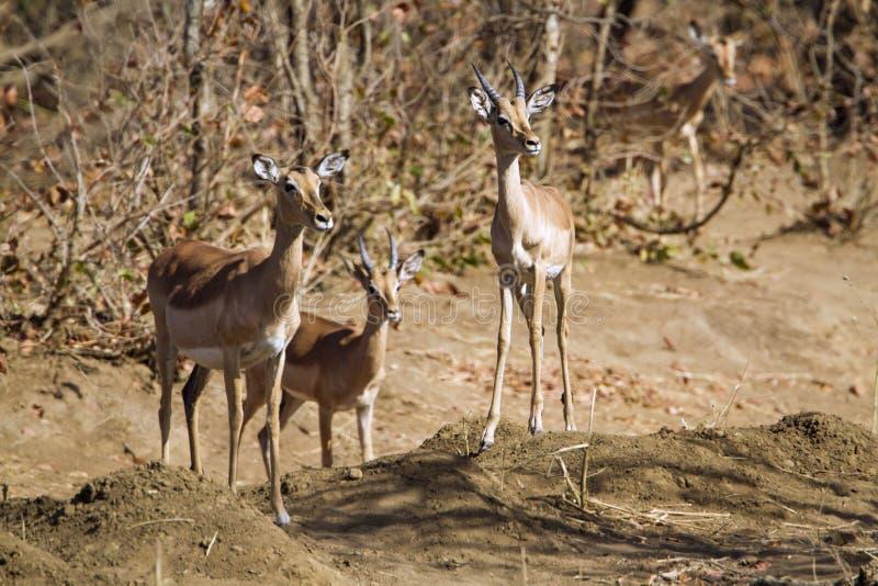 Familie der Impala im Riverbank in Nationalpark Kruger lizenzfreie stockfotos
