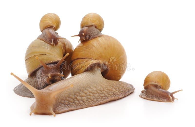 Familie der Schnecken stockbilder