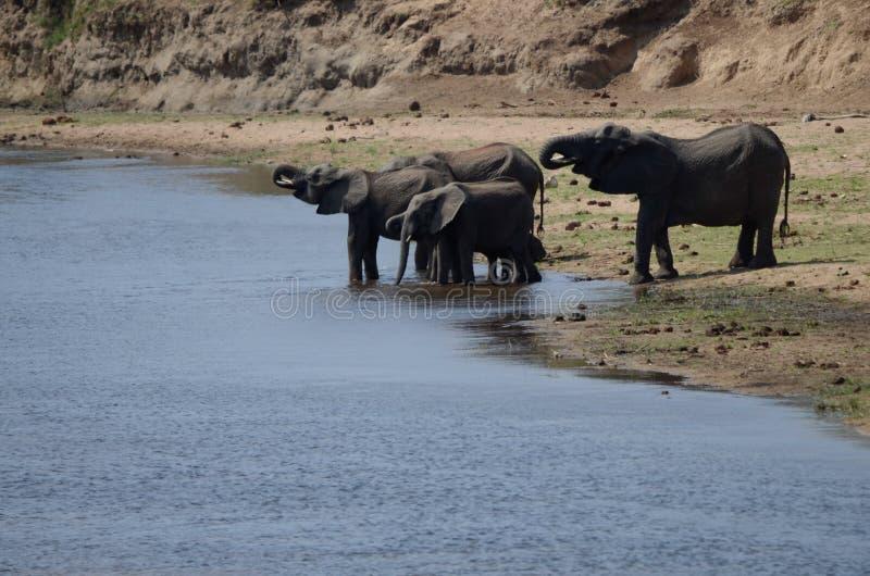 Familie des Elefantgetränks von einem Fluss stockfotos