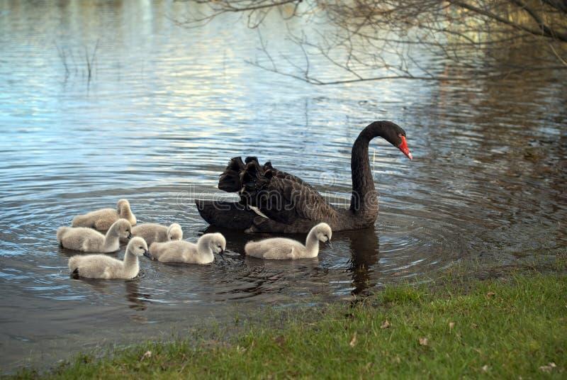 Familie des schwarzen Schwans lizenzfreies stockfoto
