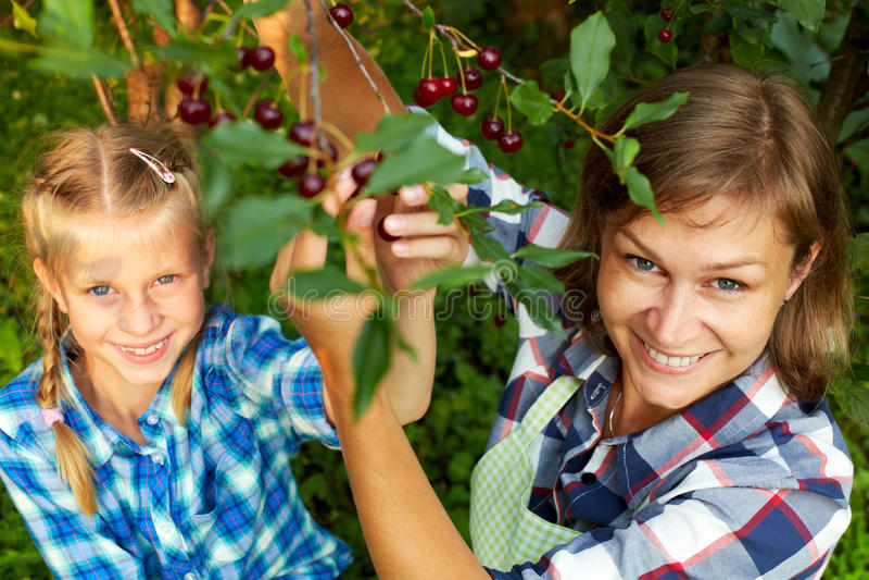Familie, die rote Kirsche vom Baum auswählt lizenzfreie stockfotos