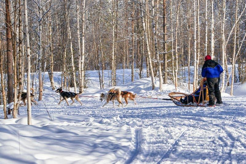 Familie die schor hondenslee in Lapland in Finland berijden royalty-vrije stock afbeelding