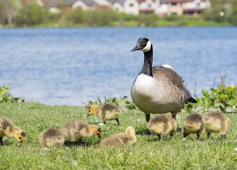 Familie die van ganzen met moedergans letten op over stock afbeeldingen