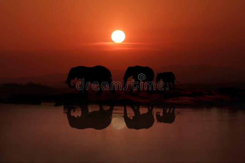 Familie die van 3 Olifanten in de Zonsondergang lopen stock foto