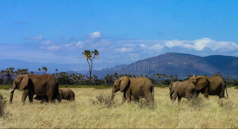 Familie die van olifanten door Samburu-weiden wandelen royalty-vrije stock afbeelding
