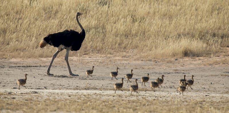 Familie die van struisvogelkuikens na hun ouders in droge Kala lopen stock foto