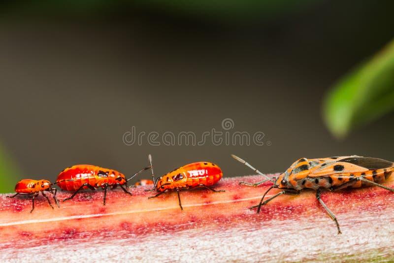 Familie katoenen stainer insect stock fotografie