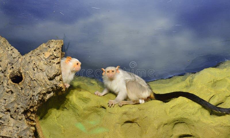 Familie silbrigen Seidenäffchen Mico-argentatus stockfotografie