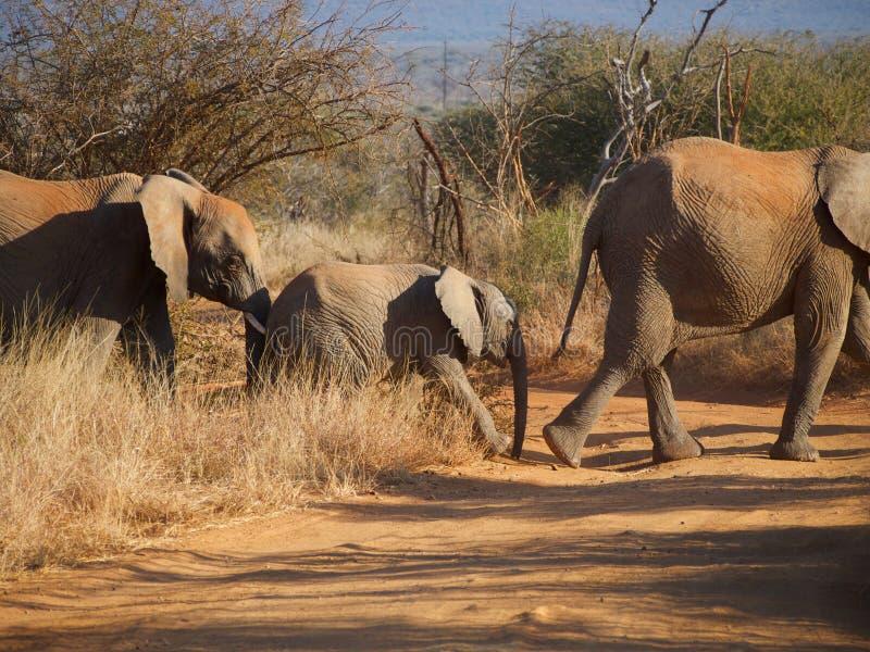 Familie van Afrikaanse struikolifant stock afbeeldingen
