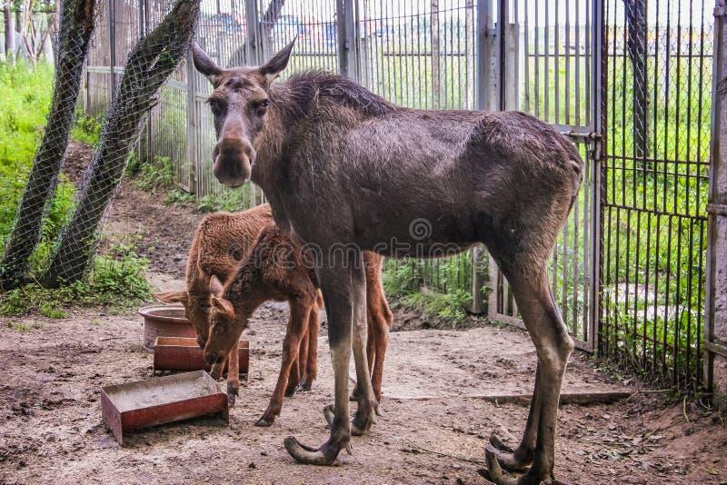 Familie van Amerikaanse elanden bij de dierentuin in Wit-Rusland (Mogilev) royalty-vrije stock foto
