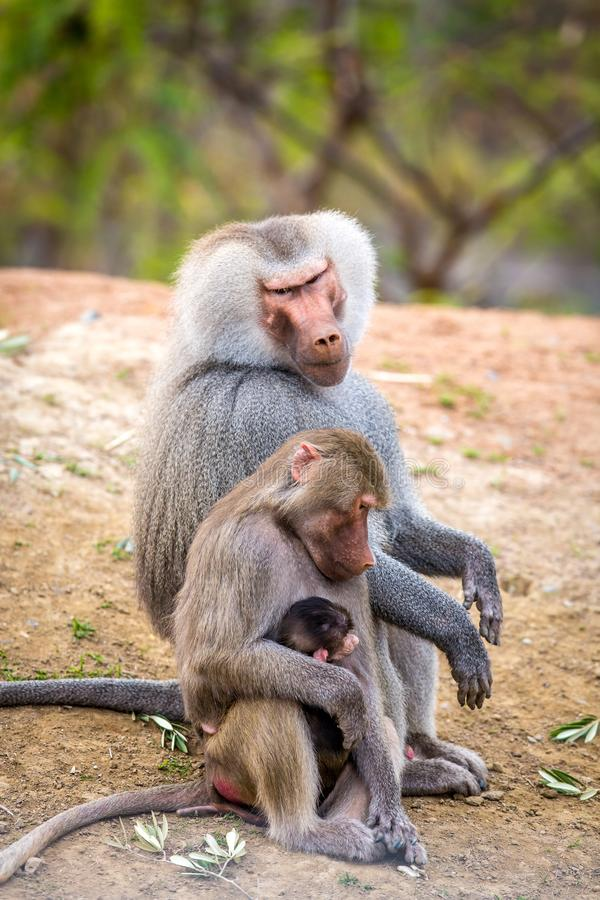 Familie van Bavianen bij San Diego Zoo royalty-vrije stock foto