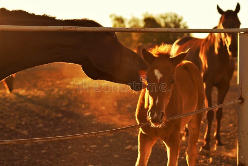 Familie van bruine paarden die in een paddock weiden stock foto's