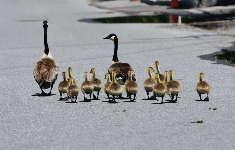 Familie van Canadese ganzen stock fotografie