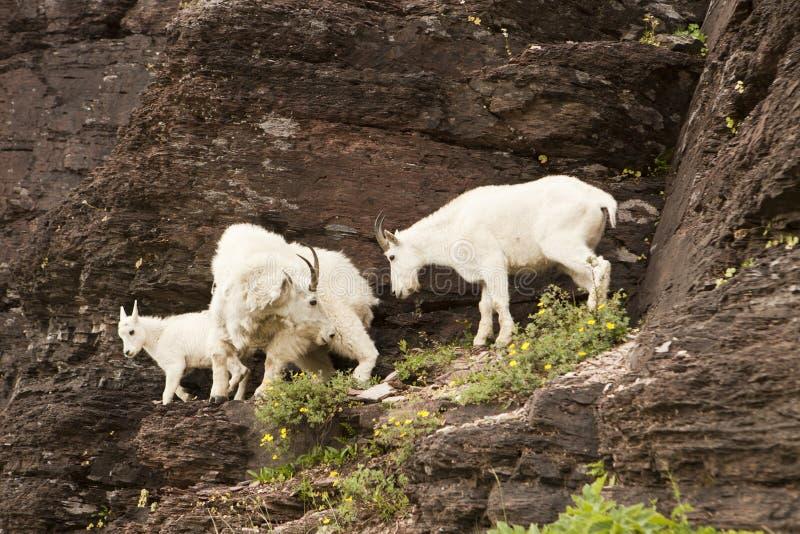 Familie van de Geiten van de Berg stock afbeelding