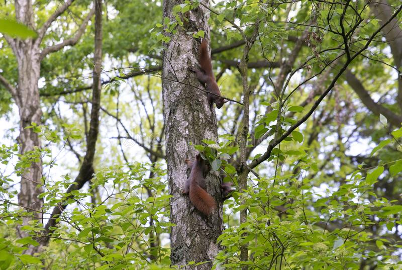 Familie van eekhoorns op de boom royalty-vrije stock fotografie