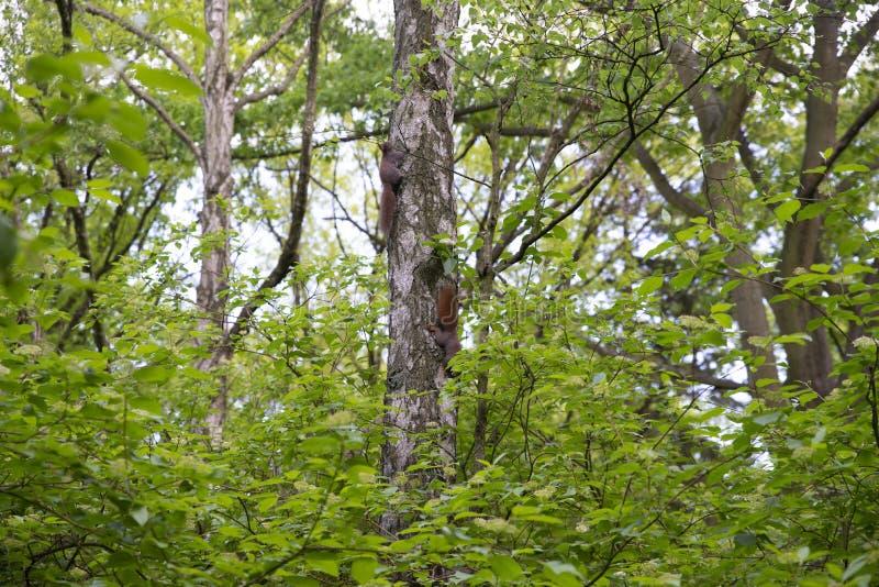 Familie van eekhoorns op de boom stock foto's