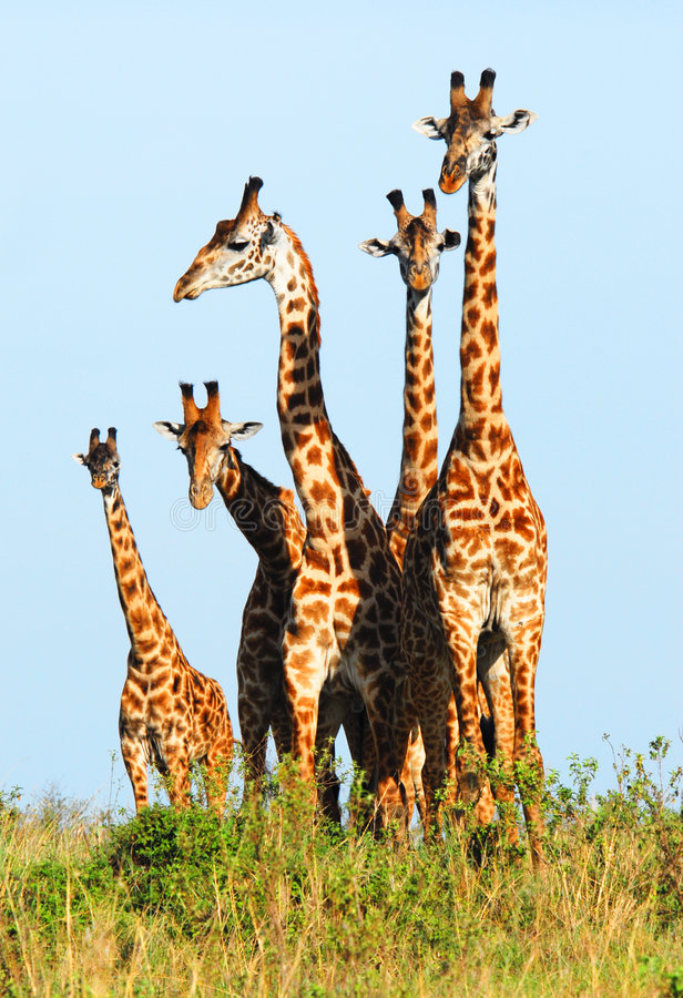 Familie van giraffen royalty-vrije stock foto