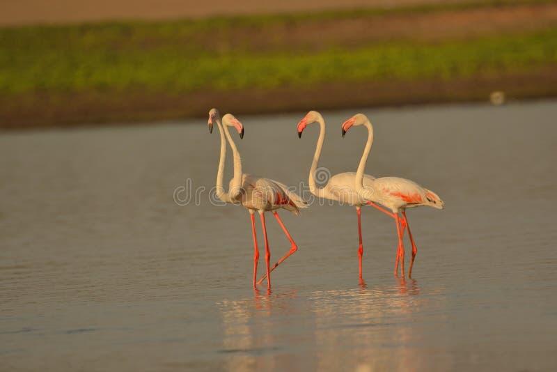 Familie van grotere flamingo royalty-vrije stock fotografie