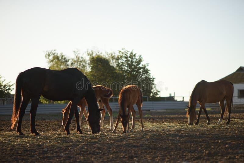Familie van het bruine paarden eten royalty-vrije stock fotografie