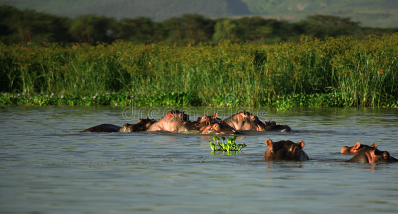 Familie van Hippos stock afbeeldingen